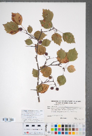 (Crataegus formosa - CCDB-18301-F03)  @11 [ ] Copyright (2012) Tim Dickinson Royal Ontario Museum