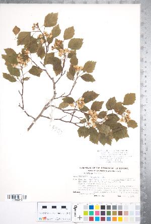 (Crataegus compacta - CCDB-18301-H03)  @11 [ ] © (2014) Deb Metsger Royal Ontario Museum