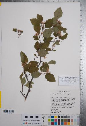 (Crataegus intricata - CCDB-18301-C07)  @11 [ ] No Rights Reserved (2014) Deb Metsger Royal Ontario Museum