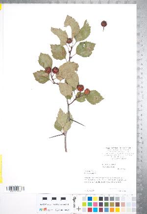 (Crataegus intricata - CCDB-18301-E7)  @11 [ ] © (2014) Deb Metsger Royal Ontario Museum