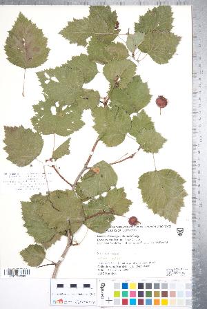 (Crataegus coccinioides - CCDB-18301-H07)  @11 [ ] Copyright (2012) Tim Dickinson Royal Ontario Museum