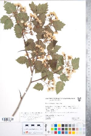 (Crataegus magniflora - CCDB-18301-C06)  @11 [ ] Copyright (2012) Tim Dickinson Royal Ontario Museum