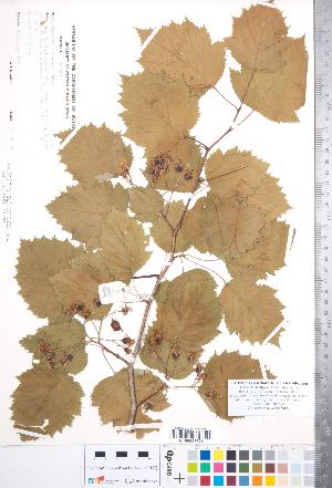 (Crataegus magniflora - CCDB-18301-A06)  @11 [ ] Copyright (2012) Tim Dickinson Royal Ontario Museum