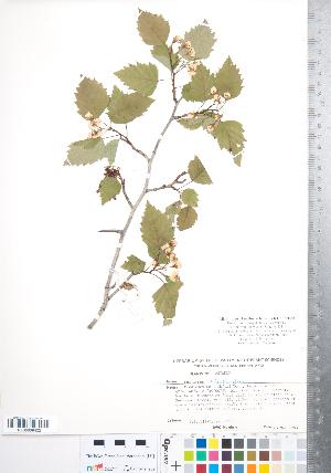 (Crataegus schuettei - CCDB-18301-D06)  @11 [ ] Copyright (2012) Tim Dickinson Royal Ontario Museum