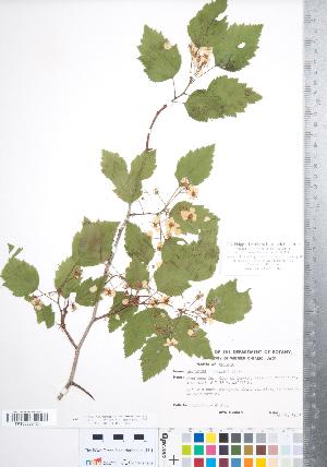 (Crataegus schuettei - CCDB-18301-E06)  @11 [ ] Copyright (2012) Tim Dickinson Royal Ontario Museum