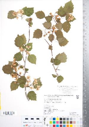 (Crataegus schuettei - CCDB-18301-F06)  @11 [ ] Copyright (2012) Tim Dickinson Royal Ontario Museum