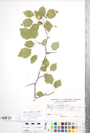 (Crataegus fluviatilis - CCDB-18301-A05)  @11 [ ] Copyright (2012) Tim Dickinson Royal Ontario Museum