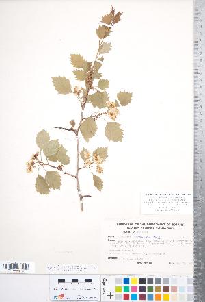 (Crataegus fluviatilis - CCDB-18301-H06)  @11 [ ] Copyright (2012) Tim Dickinson Royal Ontario Museum