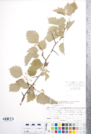 (Crataegus fluviatilis - CCDB-18301-G06)  @11 [ ] No Rights Reserved (2014) Deb Metsger Royal Ontario Museum