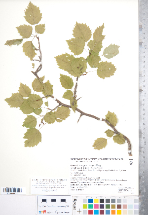 (Crataegus beata - CCDB-18301-B05)  @11 [ ] Copyright (2012) Tim Dickinson Royal Ontario Museum