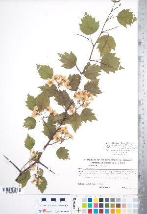 (Crataegus beata - CCDB-18301-D05)  @11 [ ] No Rights Reserved (2014) Deb Metsger Royal Ontario Museum