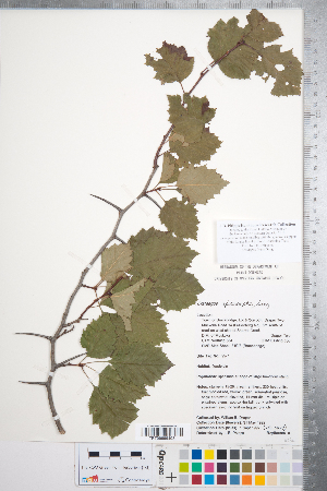 (Crataegus irrasa - CCDB-18301-E05)  @11 [ ] No Rights Reserved (2014) Deb Metsger Royal Ontario Museum