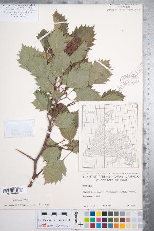 (Crataegus irrasa - CCDB-18301-H05)  @11 [ ] Copyright (2012) Tim Dickinson Royal Ontario Museum