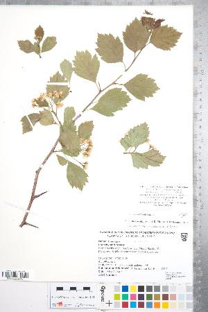 (Crataegus sheila-phippsiae var. sheila-phippsiae - CCDB-18301-A04)  @11 [ ] No Rights Reserved (2014) Deb Metsger Royal Ontario Museum