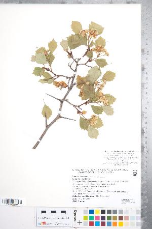 (Crataegus sheila-phippsiae var. sheila-phippsiae - CCDB-18301-F05)  @11 [ ] Copyright (2012) Tim Dickinson Royal Ontario Museum