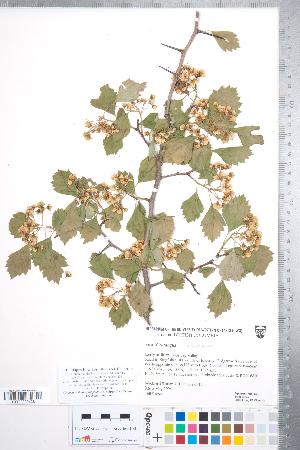 (Crataegus sheila-phippsiae - CCDB-18301-B4)  @11 [ ] © (2014) Deb Metsger Royal Ontario Museum