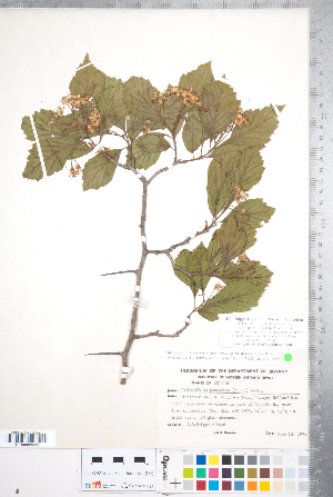 (Crataegus calpodendron - CCDB-18301-F09)  @11 [ ] No Rights Reserved (2014) Deb Metsger Royal Ontario Museum