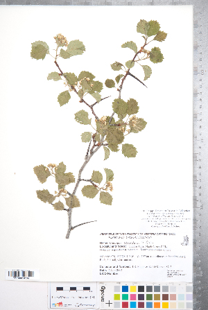 (Crataegus sheridana - CCDB-18301-H09)  @11 [ ] Copyright (2012) Tim Dickinson Royal Ontario Museum