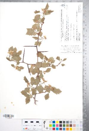 (Crataegus rubribracteolata - CCDB-18301-B08)  @11 [ ] No Rights Reserved (2014) Deb Metsger Royal Ontario Museum