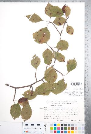 (Crataegus scabrida var. scabrida - CCDB-18301-E08)  @11 [ ] No Rights Reserved (2014) Deb Metsger Royal Ontario Museum