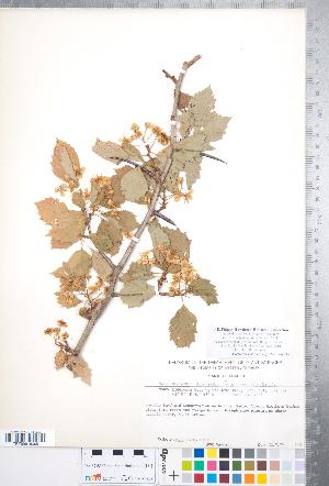 (Crataegus scabrida var. scabrida - CCDB-18301-F08)  @11 [ ] Copyright (2012) Tim Dickinson Royal Ontario Museum