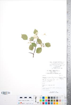 (Crataegus scabrida var. cylophylla - CCDB-18301-G08)  @11 [ ] Copyright (2012) Tim Dickinson Royal Ontario Museum