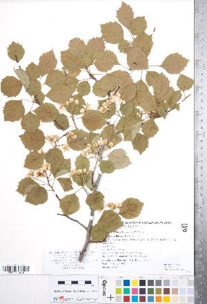 (Crataegus florifera - CCDB-18301-H08)  @11 [ ] © (2014) Deb Metsger Royal Ontario Museum