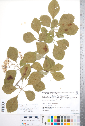 (Crataegus florifera - CCDB-18301-A07)  @11 [ ] No Rights Reserved (2014) Deb Metsger Royal Ontario Museum