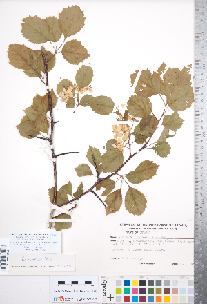 (Crataegus florifera - CCDB-18301-B7)  @11 [ ] © (2014) Deb Metsger Royal Ontario Museum