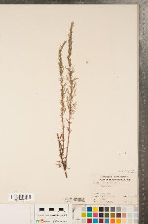 (Artemisia abrotanum - CCDB-22989-H01)  @11 [ ] No Rights Reserved (2014) Deb Metsger Royal Ontario Museum