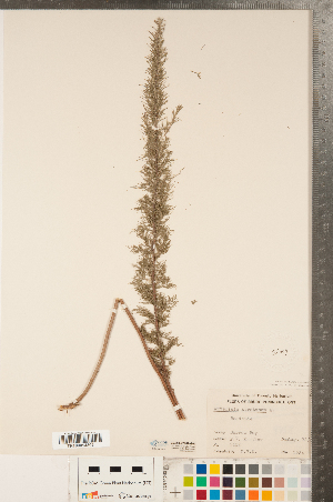 (Artemisia abrotanum - CCDB-22989-G01)  @11 [ ] No Rights Reserved (2014) Deb Metsger Royal Ontario Museum