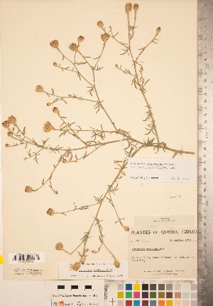 (Centaurea x psammogena - CCDB-22989-H04)  @11 [ ] © (2014) Deb Metsger Royal Ontario Museum
