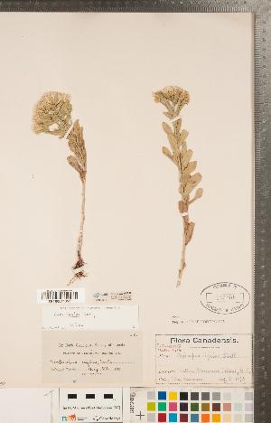 (Sericocarpus - CCDB-22989-B07)  @11 [ ] Copyright (2015) Deb Metsger Royal Ontario Museum