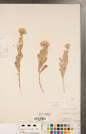 (Sericocarpus - CCDB-22989-A07)  @11 [ ] Copyright (2015) Deb Metsger Royal Ontario Museum