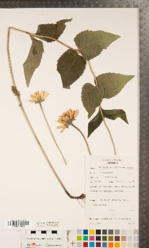 (Heliopsis - CCDB-24896-C03)  @11 [ ] Copyright (2015) Deb Metsger Royal Ontario Museum
