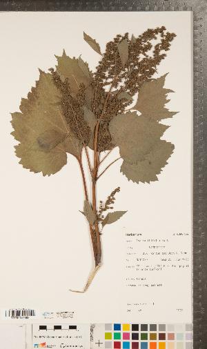 (Cyclachaena - CCDB-24896-B03)  @11 [ ] Copyright (2015) Deb Metsger Royal Ontario Museum