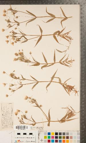 (Stellaria holostea - CCDB-24896-F08)  @11 [ ] Copyright (2015) Deb Metsger Royal Ontario Museum