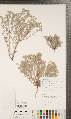(Cryptantha fendleri - CCDB-24897-E01)  @11 [ ] Copyright (2015) Deb Metsger Royal Ontario Museum