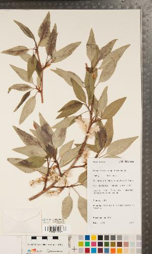 (Populus angustifolia - CCDB-24897-B01)  @11 [ ] Copyright (2015) Deb Metsger Royal Ontario Museum