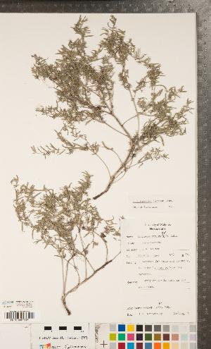 (Lithospermum incisum - CCDB-24897-D02)  @11 [ ] Copyright (2015) Deb Metsger Royal Ontario Museum