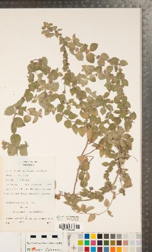 (Mentha - CCDB-24897-H03)  @11 [ ] Copyright (2015) Deb Metsger Royal Ontario Museum