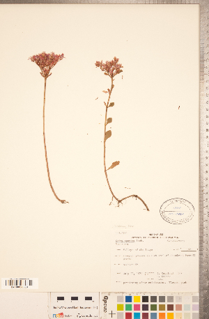 (Phedimus - CCDB-23324-G05)  @11 [ ] © (2014) Deb Metsger Royal Ontario Museum