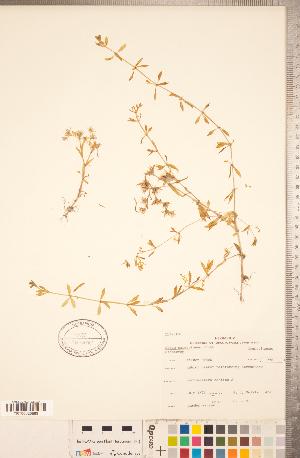(Sedum sarmentosum - CCDB-18313-F09)  @11 [ ] © (2014) Deb Metsger Royal Ontario Museum