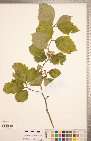 (Crataegus calpodendron - CCDB-18301-C09)  @11 [ ] Copyright (2012) Tim Dickinson Royal Ontario Museum