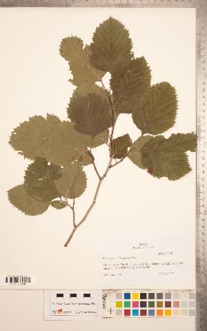 (Crataegus brazoria - CCDB-18301-F10)  @11 [ ] Copyright (2012) Tim Dickinson Royal Ontario Museum