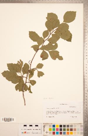 (Crataegus mollis x viridis - CCDB-18301-A10)  @11 [ ] Copyright (2012) Tim Dickinson Royal Ontario Museum