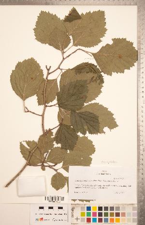 (Crataegus mollis var viburnifolia - CCDB-18301-G10)  @11 [ ] Copyright (2012) Tim Dickinson Royal Ontario Museum
