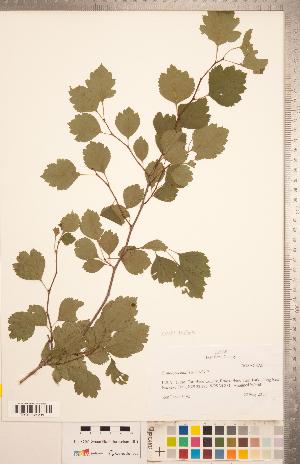 (Crataegus mollis x viridis - CCDB-18301-H10)  @11 [ ] Copyright (2012) Tim Dickinson Royal Ontario Museum