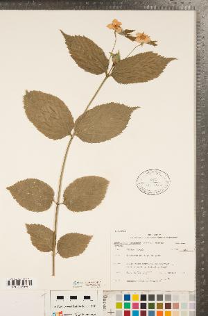 (Rhodotypos - CCDB-23110-H10)  @11 [ ] Copyright (2015) Deb Metsger Royal Ontario Museum