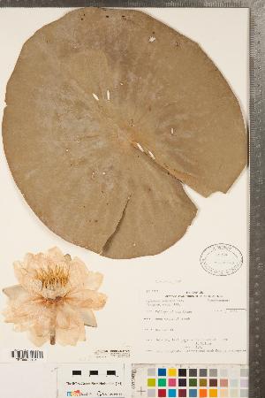 (Nymphaea odorata - CCDB-23324-G02)  @11 [ ] Copyright (2015) Deb Metsger Royal Ontario Museum